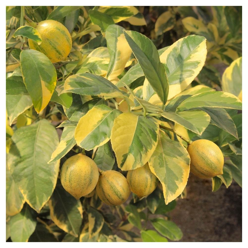 Image of Vargieted Lemon 'Eureka' 1pc - Cottage Hill - U.S.D.A. Hardiness Zones 8 - 11