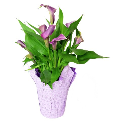 "6"" Potted Calla Lilies - Colors May Vary - image 1 of 1"