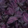 4pc Persian Shield Purple - National Plant Network - image 3 of 3