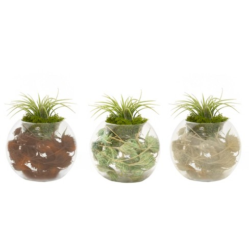First Frost 3pk Living Air Plants In Decorative Gl Containers Livetrends Design Target