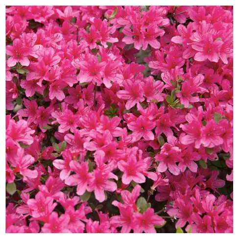 Floramore Azalea 'Hot Pink' 1pc - Cottage Hill - U.S.D.A. Hardiness Zones 7 - 9 - image 1 of 3