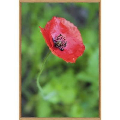 "16"" x 23"" Poppy Flower by Anna Miller Danita Delimont Framed Canvas Wall Art Red - Amanti Art"