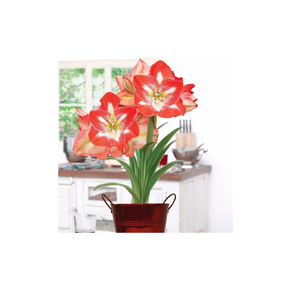 Amaryllis Kit Minerva with Decorative Planter - Van Zyverden
