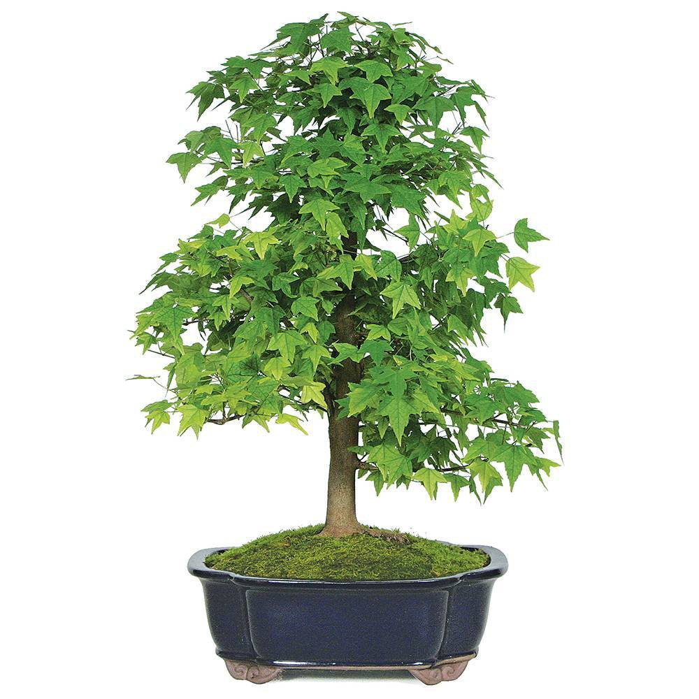 Image of Extra Large Trident Maple Outdoor Live Plant - Brussel's Bonsai