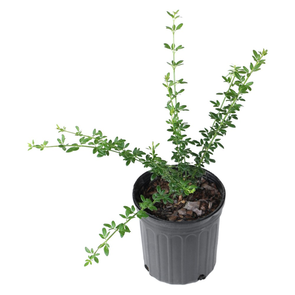 Image of Winter Jasmine 2.5qt U.S.D.A. Hardiness Zones 6-10 - 1pc - Cottage Hill