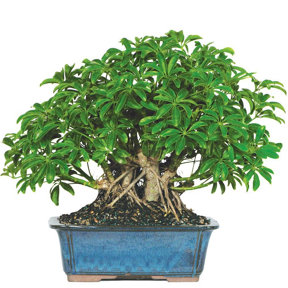 Image of Extra Large Hawaiian Umbrella Indoor Live Houseplant - Brussel's Bonsai