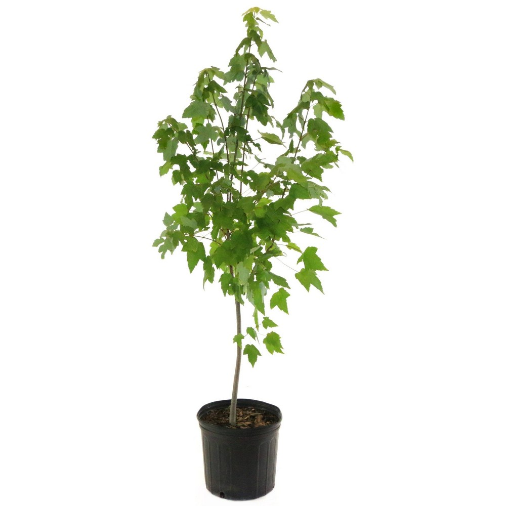 Image of 2.25gal Red Maple Tree - National Plant Network