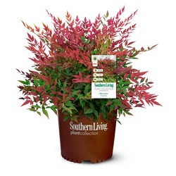 Nandina Southern Living 'Obsession' 3gal U.S.D.A. Hardiness Zones 6-10 - 1pc - National Plant Network