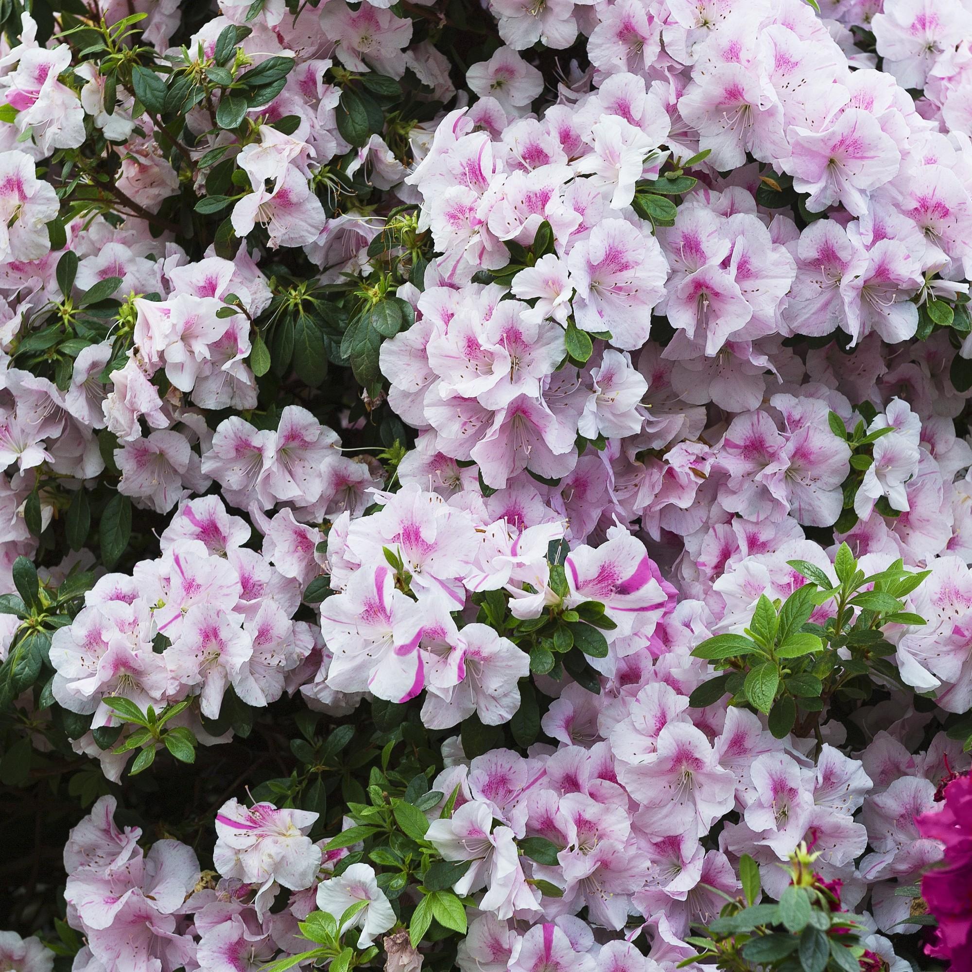 Encore Azalea Autumn 'Twist' 3gal U.S.D.A. Hardiness Zones 6-10 - 1pc - Cottage Hill, Green/White/Purple