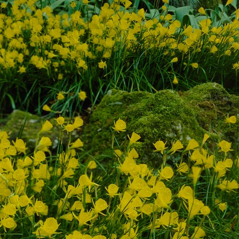 Narcissus Golden Bells Set of 25 Bulbs - Yellow - Van Zyverden - image 1 of 4