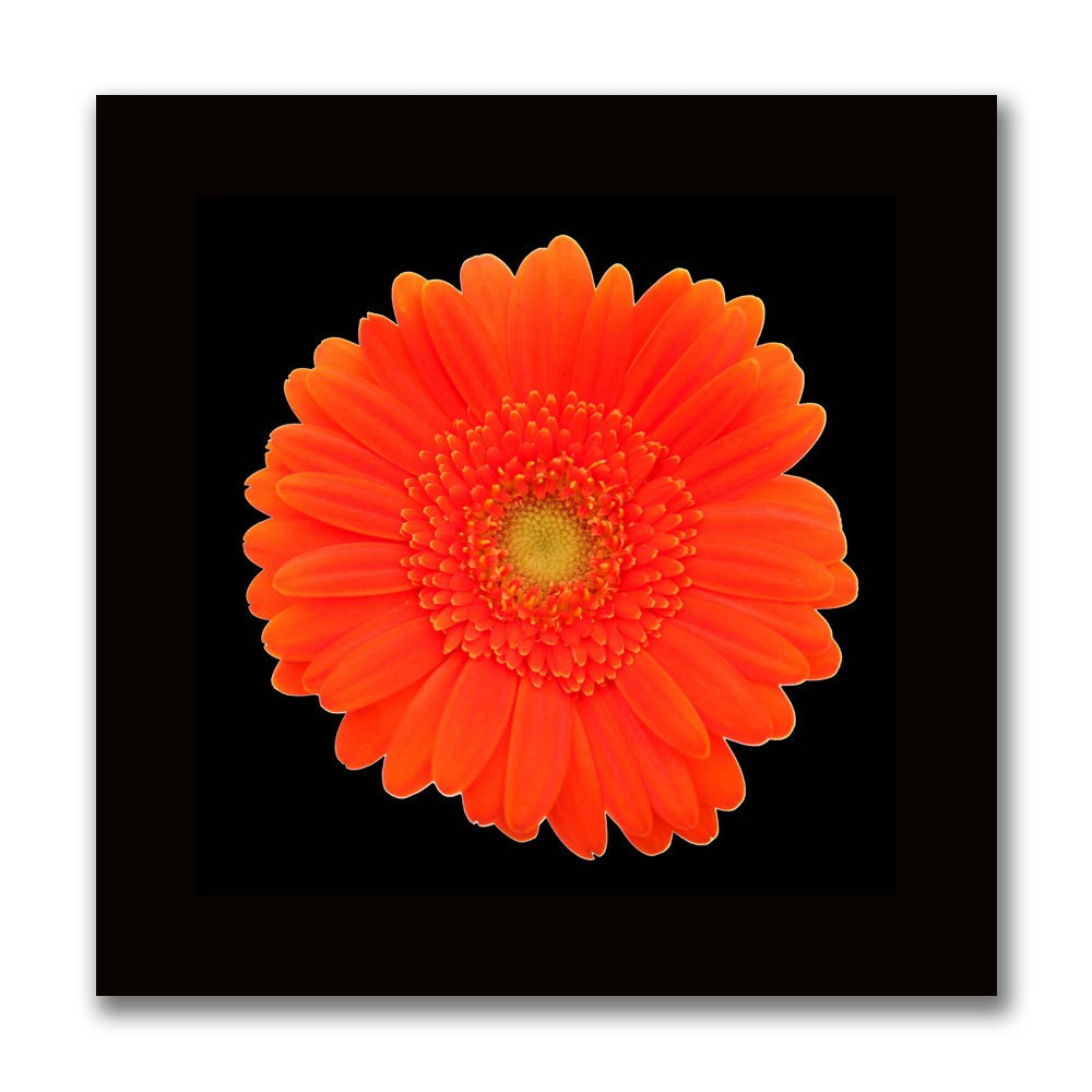 Image of 'Orange Gerber Daisy' Ready to Hang Canvas Wall Art
