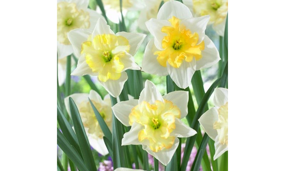 Daffodil Changing Colors - Set of 12 Bulbs - Van Zyverden