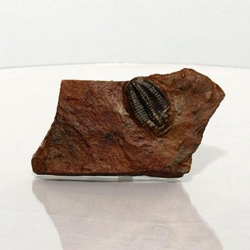 Master Replicas Small Trilobite in Stone Resin Fossil Replica - image 1 of 3