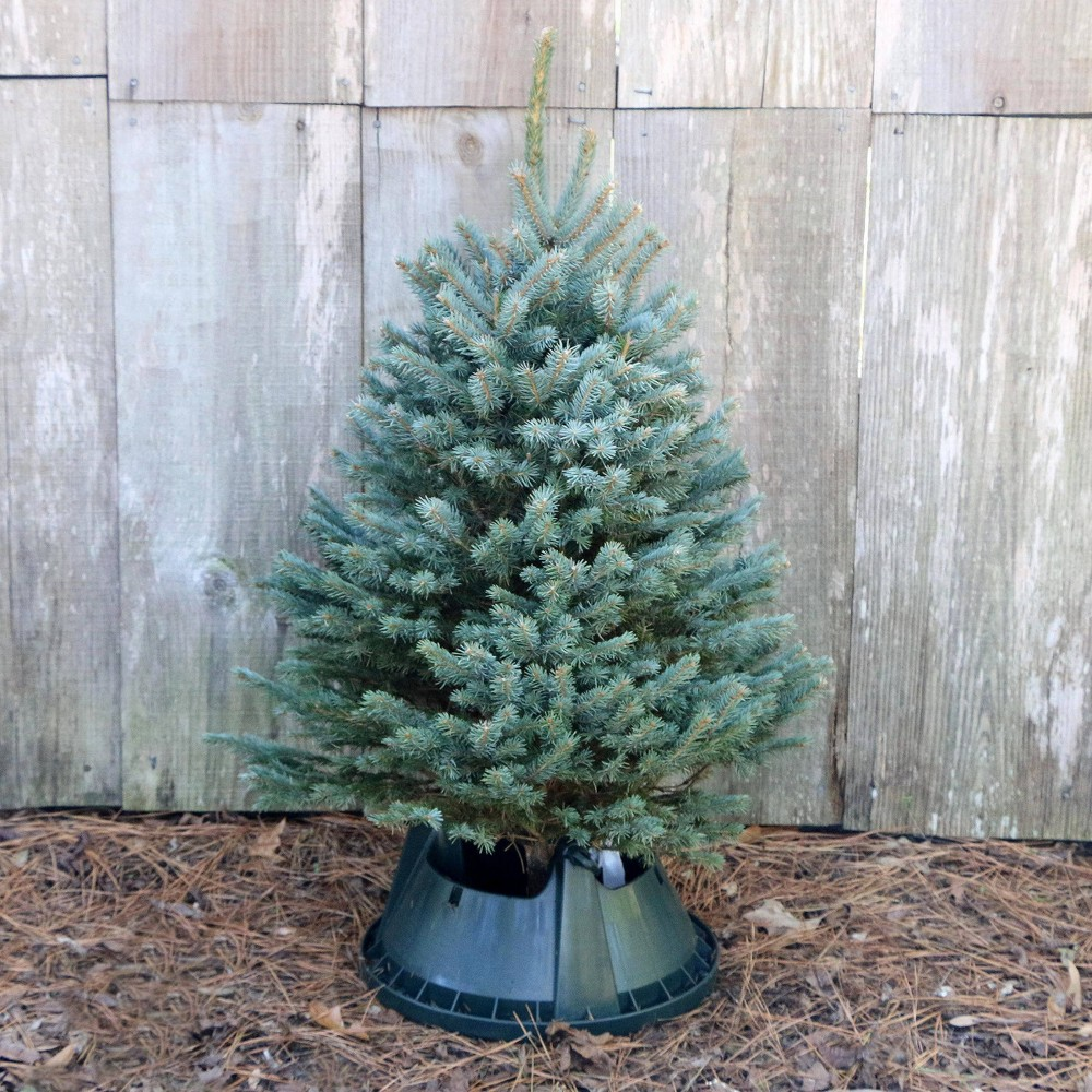 Image of Live Blue Spruce Fresh Cut Table Top Christmas Tree - Cottage Hill Nursery