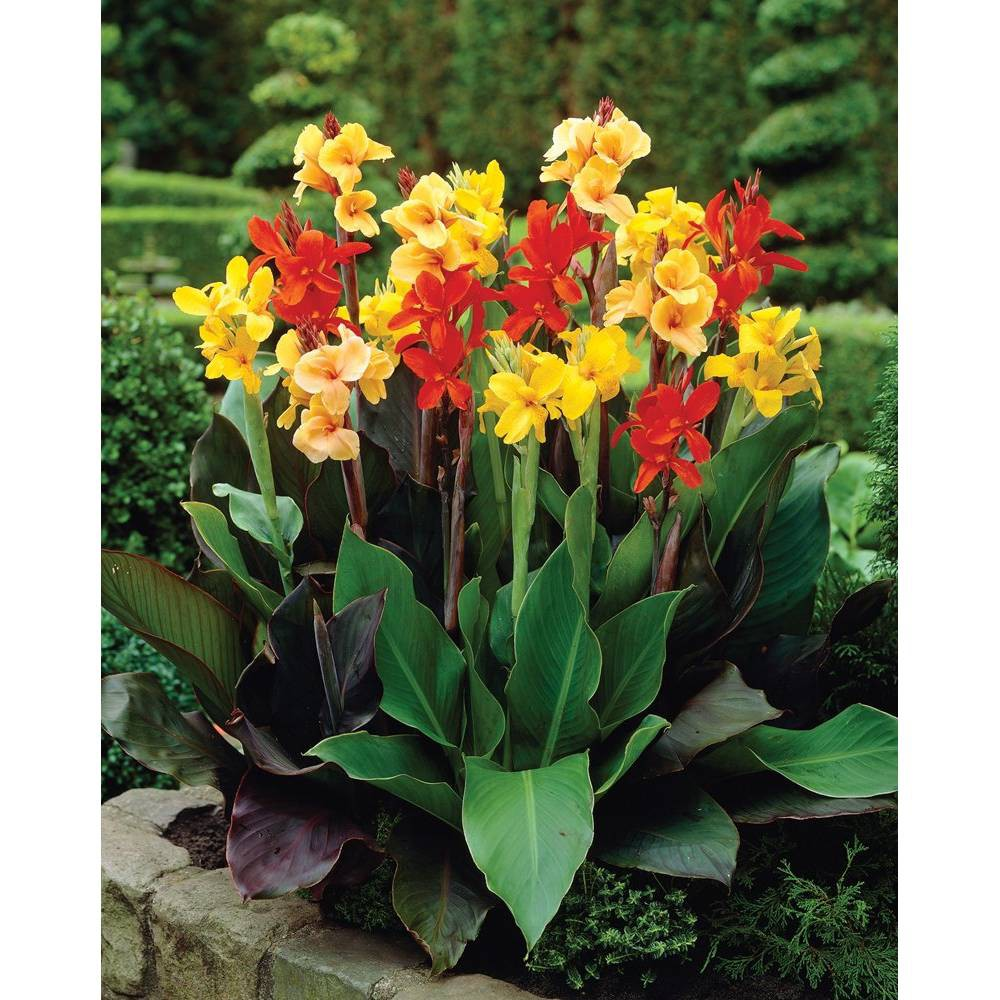 Image of 12ct Bulbs - Cannas- Giant Tall Mixed - Van Zyverden