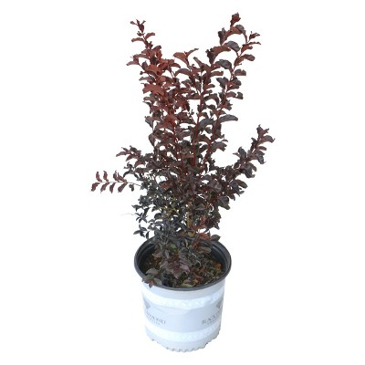 Black Diamond Crape Myrtle 'Best Red' 2.25gal U.S.D.A. Hardiness Zones 7-10 - 1pc - Cottage Hill