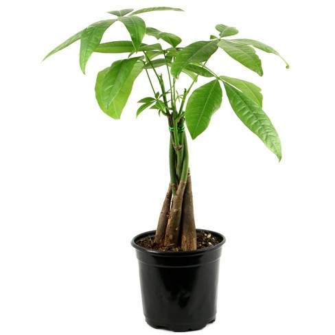 Braided Money Tree - National Plant Network - image 1 of 1