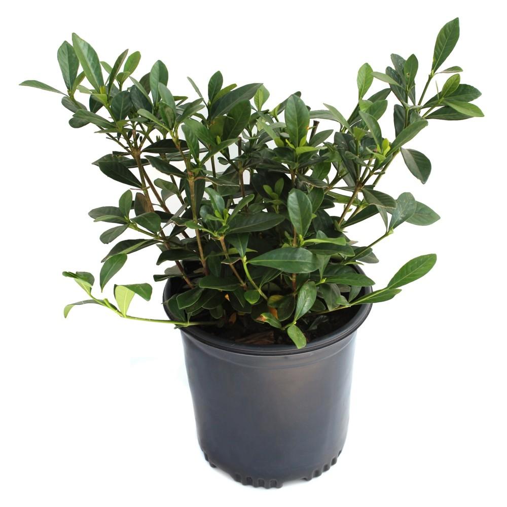Gardenia 39 Radicans 39 1pc U S D A Hardiness Zones 7 11 National Plant Network 2 5qt