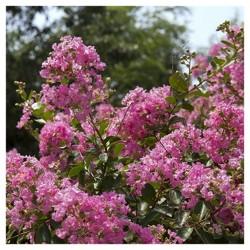 Dwarf Crepe Myrtle 'Pocomoke' 1pc - National Plant Network U.S.D.A Hardiness Zone 6-9