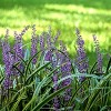 2.5qt Variegated Liriope Plant with Purple Blooms - National Plant Network - image 2 of 4