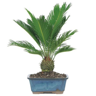 Medium Sego Palm Indoor Live Houseplant - Brussel's Bonsai