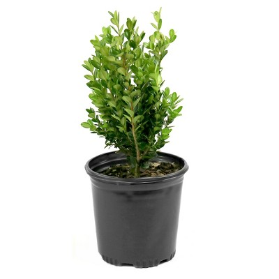 Boxwood 'Wintergreen' 1pc U.S.D.A. Hardiness Zones 4-9 Cottage Hill 2.25gal
