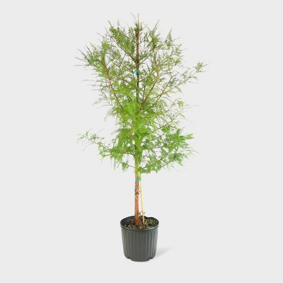 1pc Bald Cypress - National Plant Network