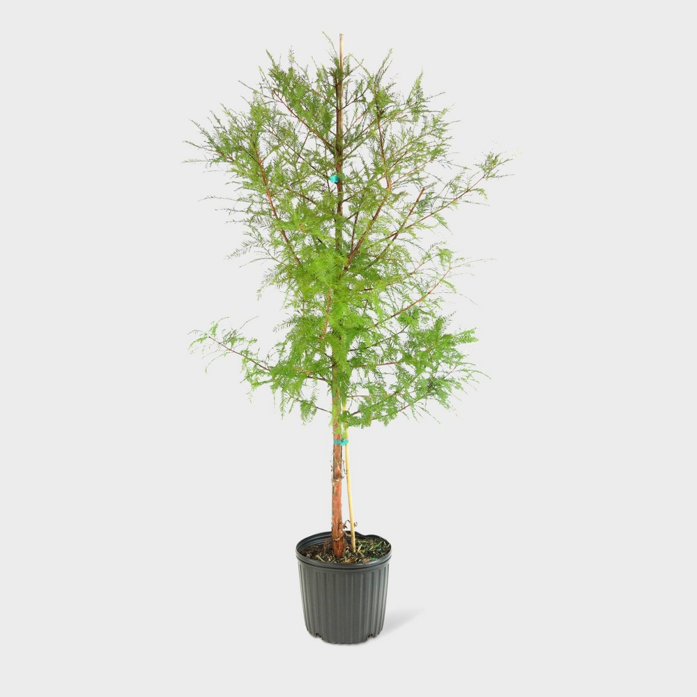 Image of 1pc Bald Cypress - Cottage Hill