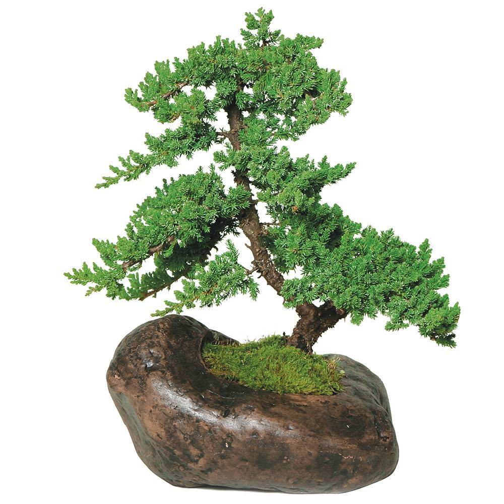 Image of Extra Large Mound Juniper Over Rock Green Outdoor Live Plant - Brussel's Bonsai