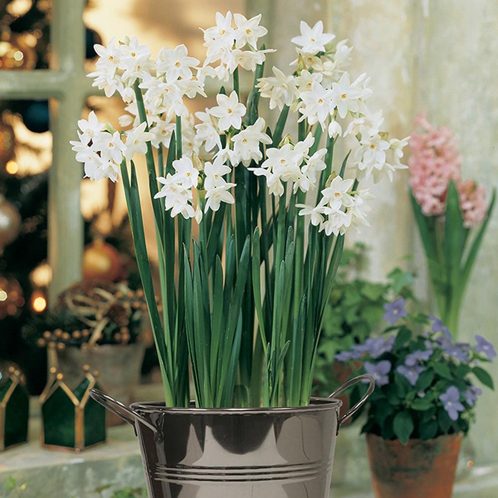 Paperwhite Kit With Artisan Decorative Planter - White - Van Zyverden