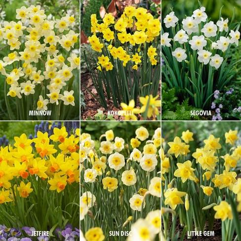 Award Winning Perennial Deer Resistant Daffodil Blend Set Of 30