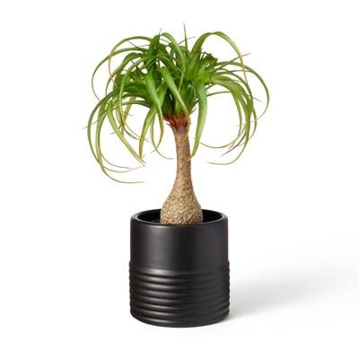 "18"" x 12"" Faux Ponytail Palm Plant in Ribbed Ceramic Pot Black - Hilton Carter for Target"