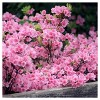 Azalea 'Pink Ruffle' 1pc - Cottage Hill U.S.D.A Hardiness Zone 8-10 - image 3 of 3