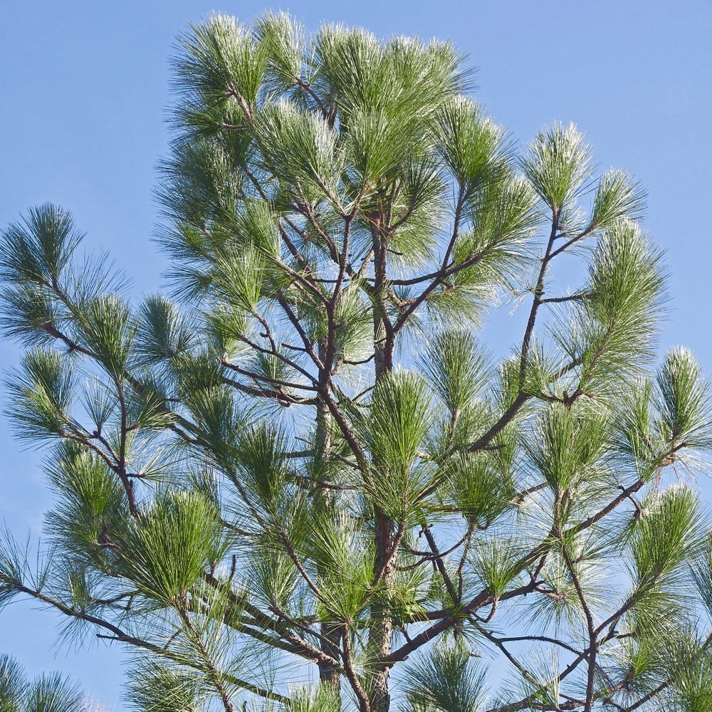Image of 2.25gal Longleaf Pine Tree - National Plant Network