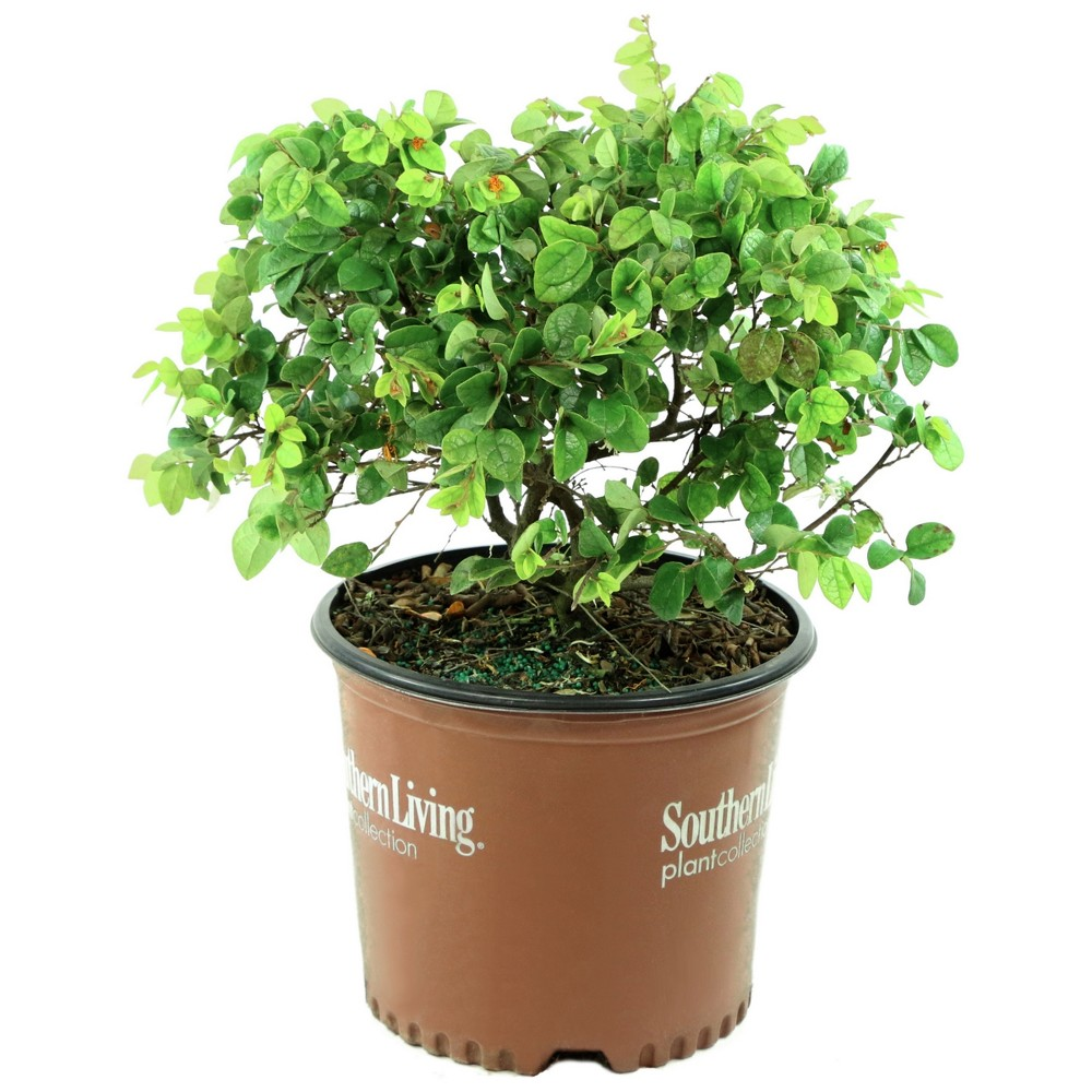 Image of Loropetalum 'Emerald Snow' 1pc U.S.D.A. Hardiness Zones 7-11 Cottage Hill 3gal