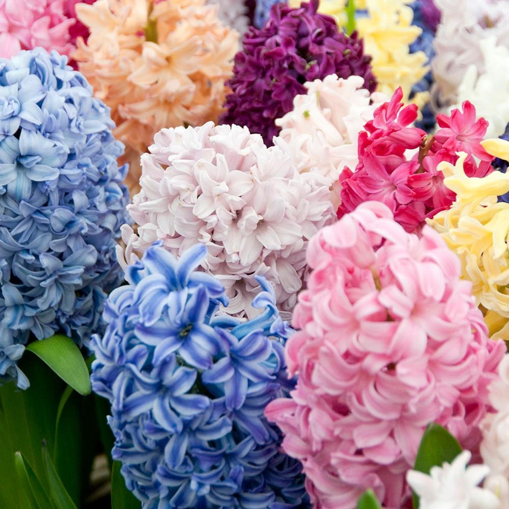Hyacinths Easter Basket Blend Set of 12 Bulbs - Van Zyverden