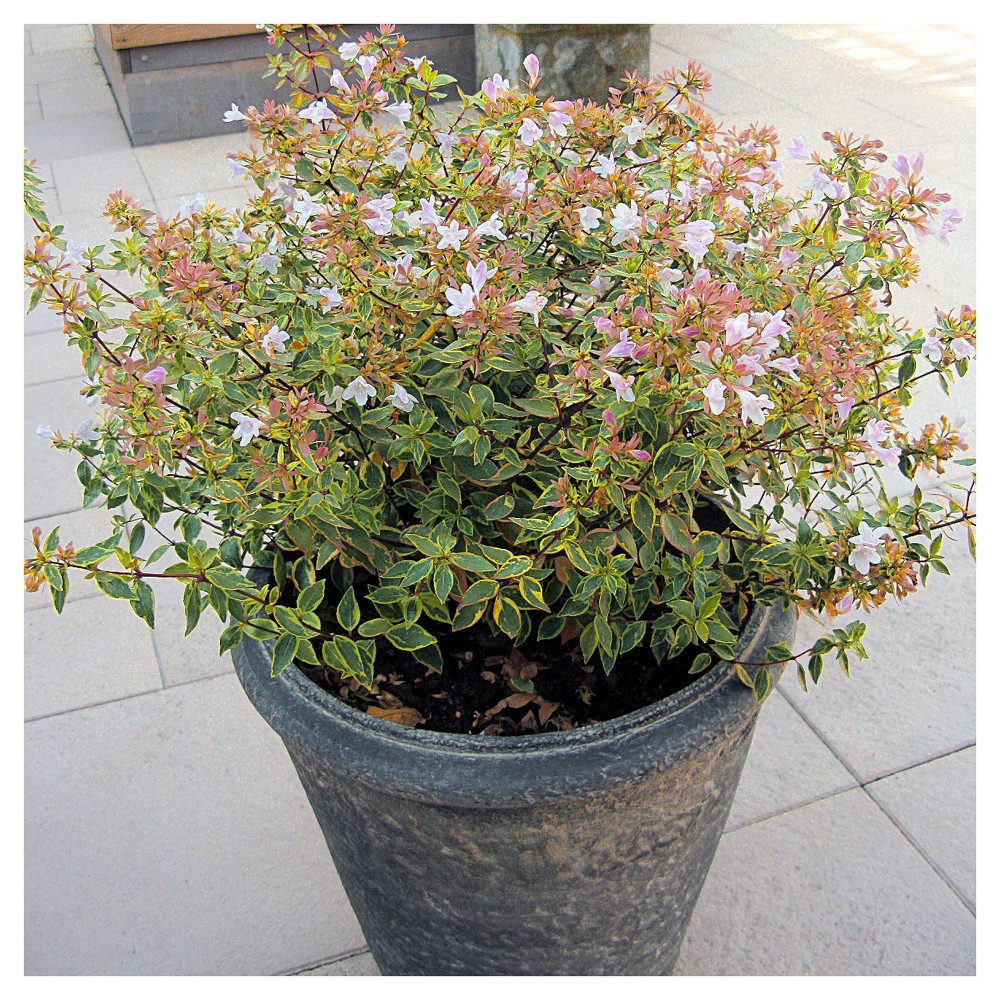 Image of Abelia 'Francis Mason' 1pc - National Plant Network U.S.D.A Hardiness Zone 6-9 - 2.25 Gallon
