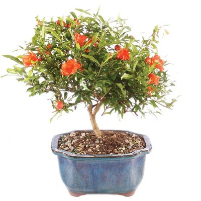 Small Pomegranate Outdoor Live Plant - Brussel's Bonsai