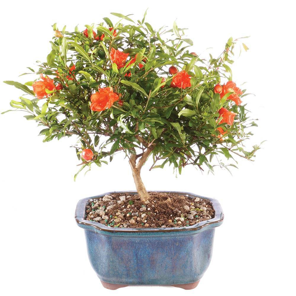 Image of Small Pomegranate Outdoor Live Plant - Brussel's Bonsai