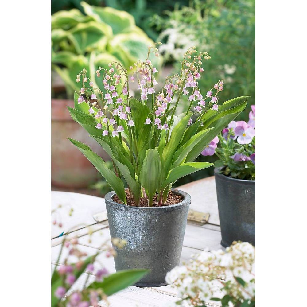 Van Zyverden Set Of 6 Lily Of The Valley Roots Pink