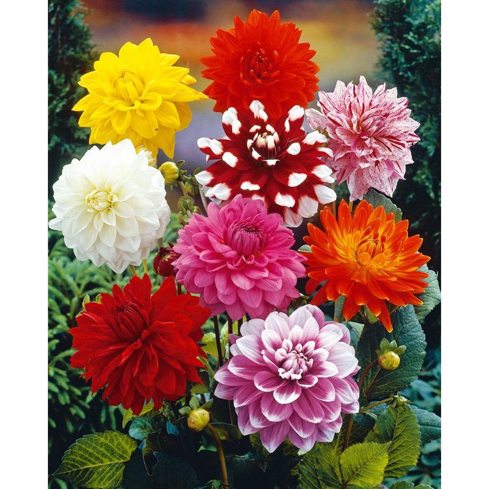 Image of 14ct Bulbs - Dahlias - Decorative Mixed - Van Zyverden