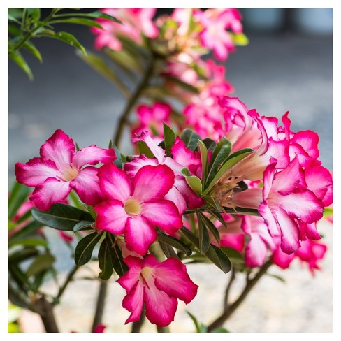 Desert Rose' 1pc - Cottage Hill - Indoor Plant Or U.S.D.A. Hardiness Zones 10 - 11 : Target