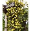 2.5qt Carolina Jessamine Plant Yellow Blooms - National Plant Network - image 2 of 3