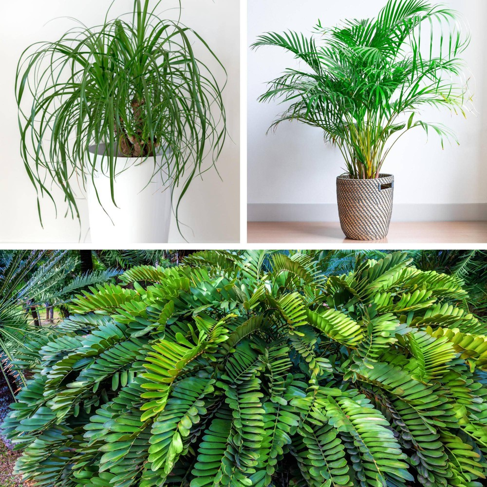 Image of 3pc Palm Collection - National Plant Network