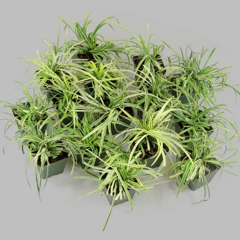 15pc Variegated Liriope - National Plant Network - image 1 of 4