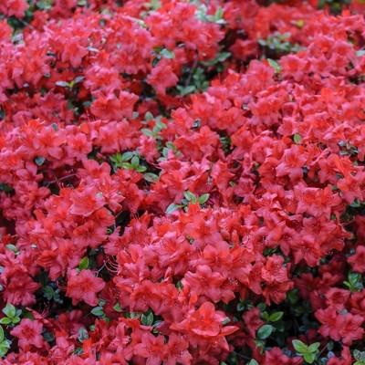 2.25gal Hershey Orange Azalea Plant with Pink Blooms - National Plant Network