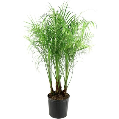 Rebellini Palm - National Plant Network