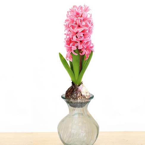 Hyacinth Pink with Clear Glass Planter - Van Zyverden - image 1 of 2