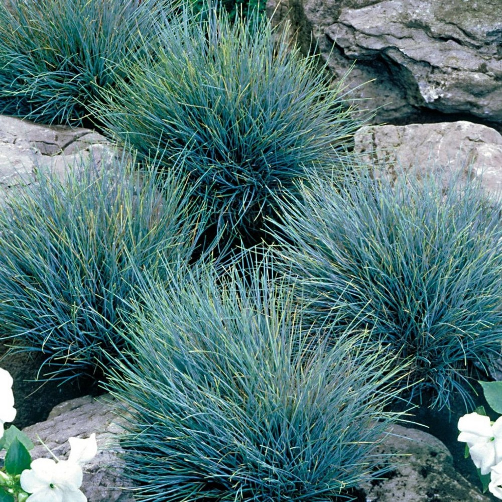 Image of 3pc Fescue Grass Elijah Blue - National Plant Network