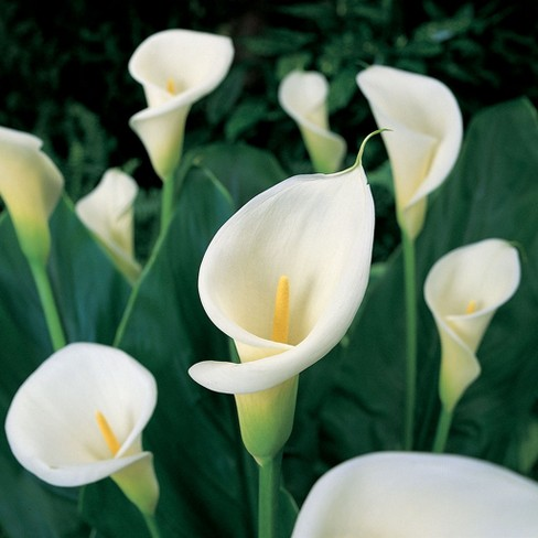 Calla Aethiopica Set of 5 Bulbs - White - Van Zyverden - image 1 of 4
